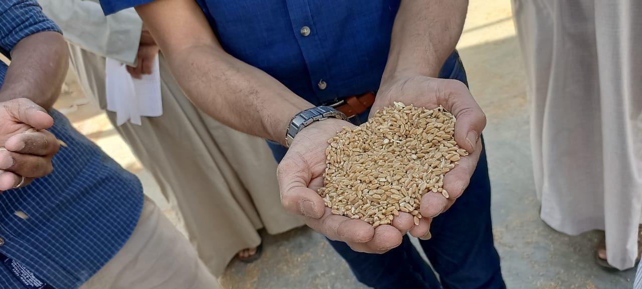 القمح يتم توريده بصورة طبيعية فى الأجازات بالأقصر
