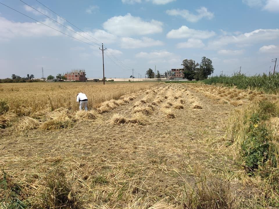 بدء موسم الحصاد للقمح بالمحافظات
