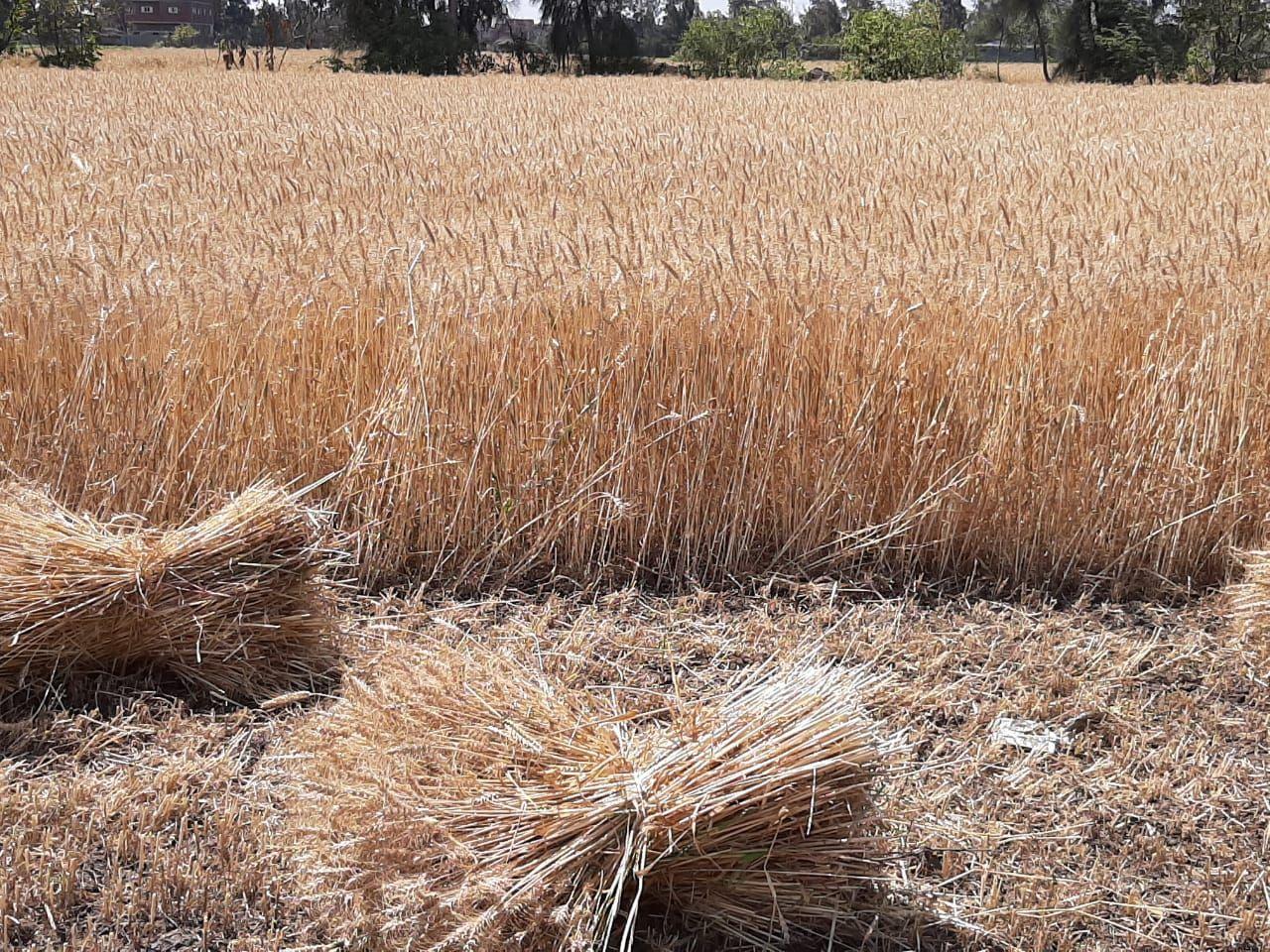 كميات القمح خلال الحصاد