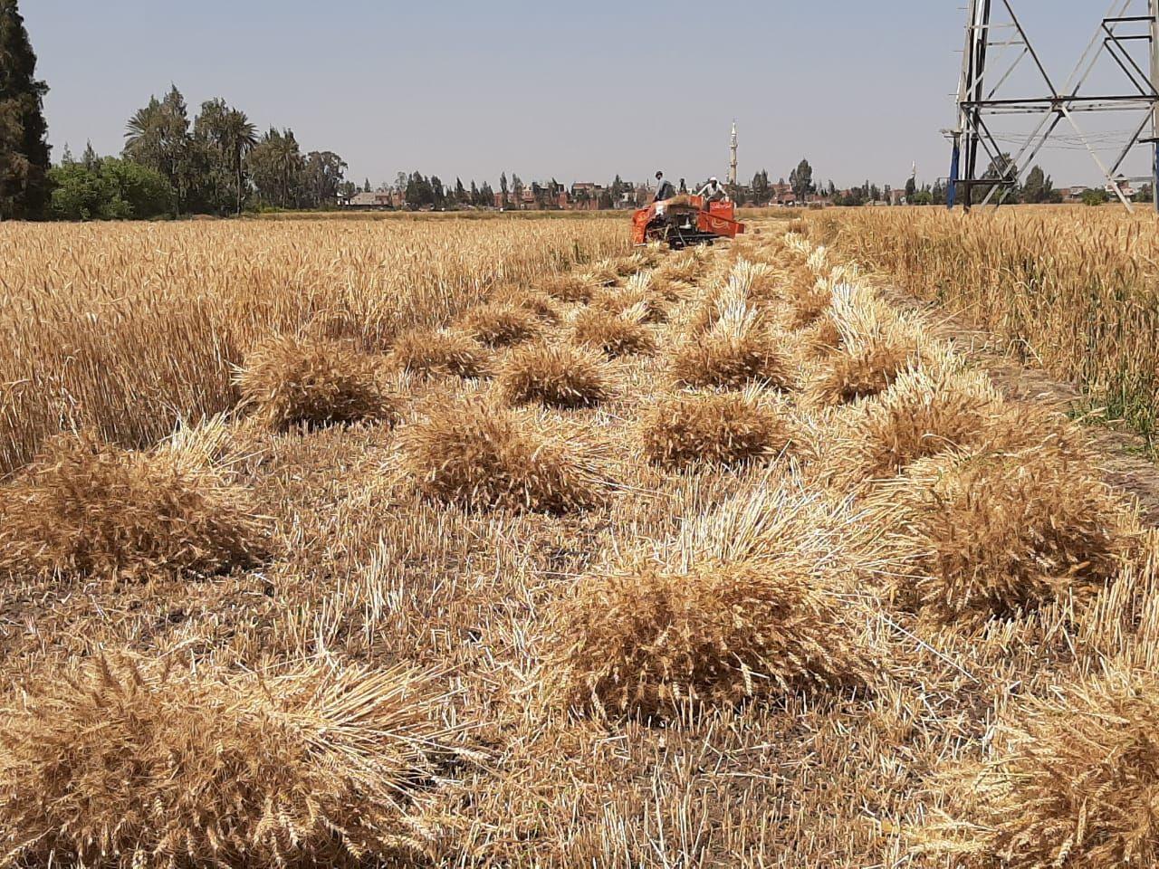 جانب من موسم حصاد القمح