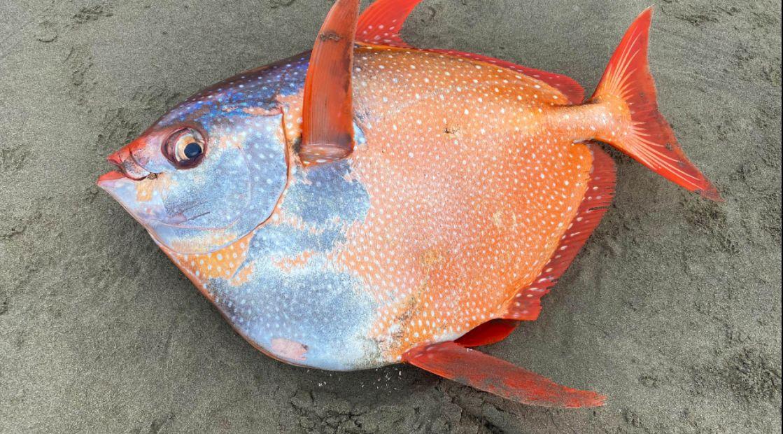سمكة أوبا