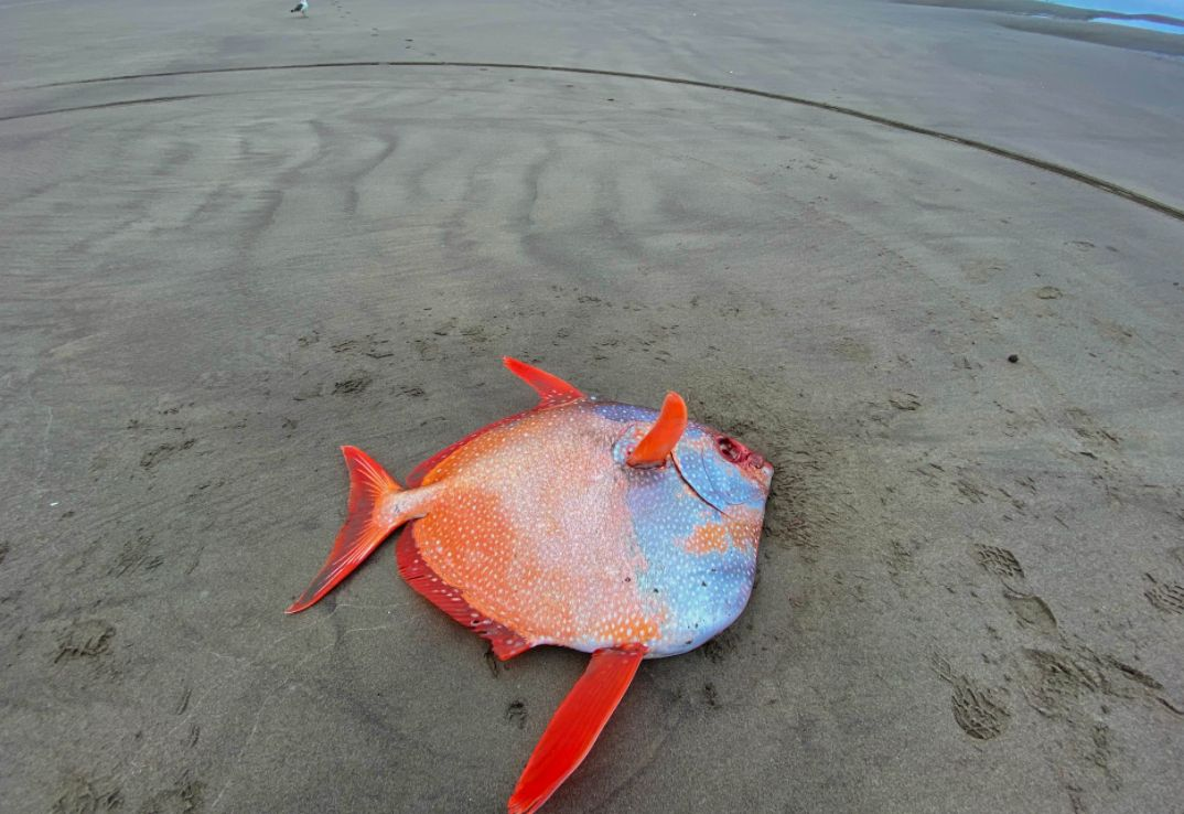 السمكة