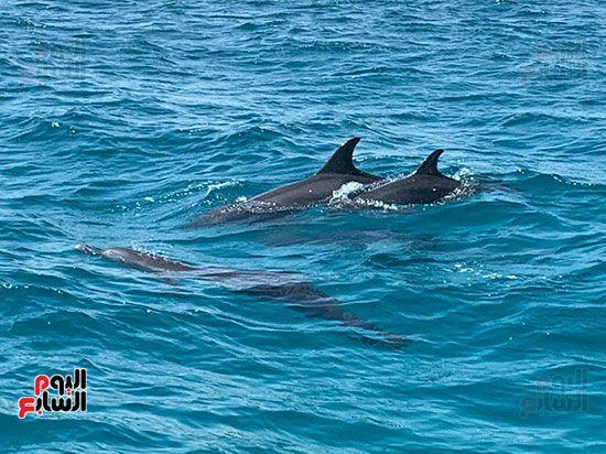 الدلافين-علي-شواطئ-الدلافين